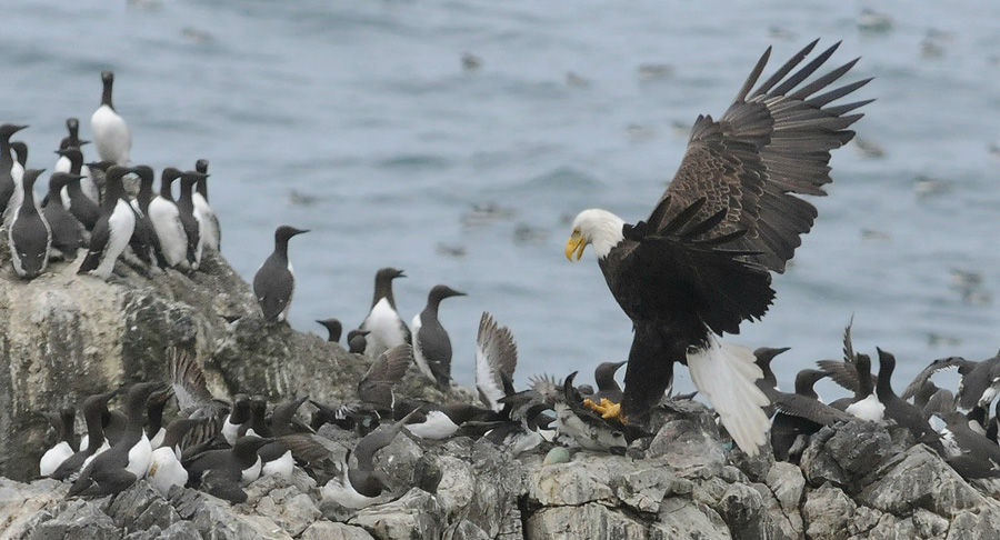 Image result for murres and eagles